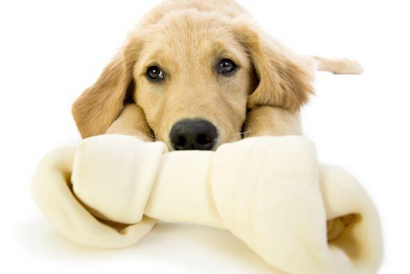 Gentil e inteligente, figura también entre los perros de servicio prefer...