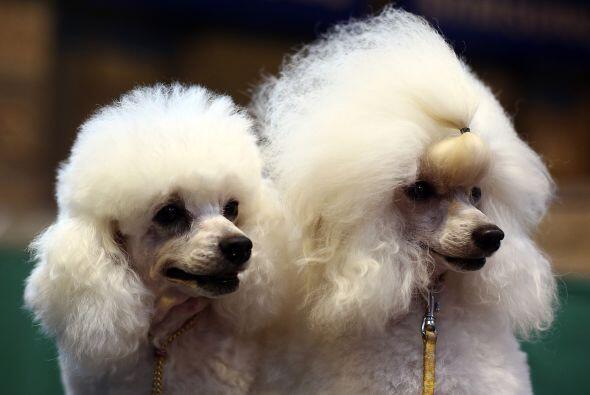 Ambos toy poodles ya estaban listos para engalanar con su presencia.