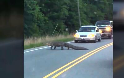 Un caimán paralizó el tráfico al atravesar una calle de Carolina del Norte