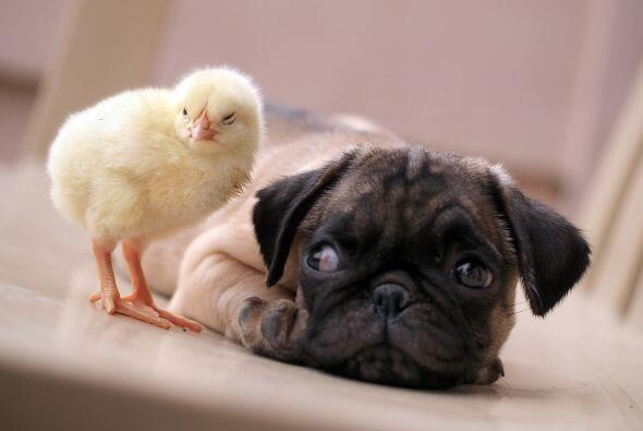 KFC es el nombre del polluelo, ¡y le gusta estar en lugares c&aacu...