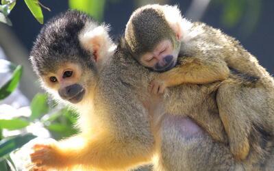 Latidos del planeta: Taronga Zoo da la bienvenida a estos monos ardilla