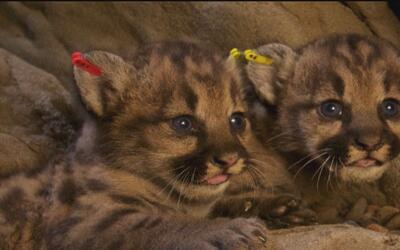 Puma de 7 meses de edad murió atropellado en la Autopista 118