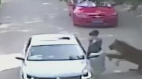 Una mujer se baja de un auto y termina en las fauces de un tigre