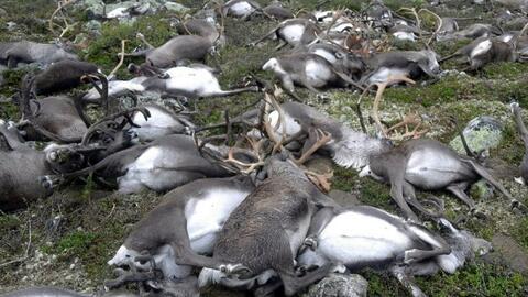 Rayo mata a más de 300 renos salvajes en Noruega