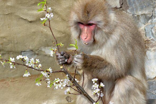 Hay monos que no logran acercarse al agua, pues el desarrollo de las cla...