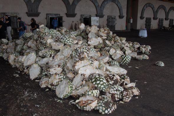 El agave es llevado a la planta de procesamiento, en donde pasa por dist...