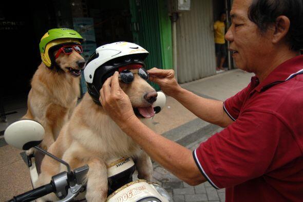 Les coloca cascos y googles para sacarlos a pasear todos los días.