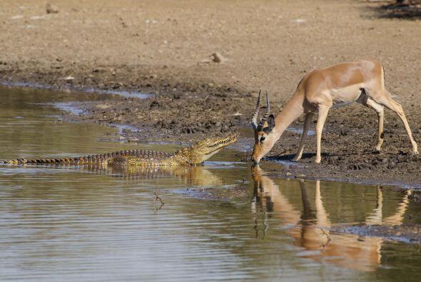 Cuando su amigo cocodrilo llegó, el impala ni siquiera levant&oac...