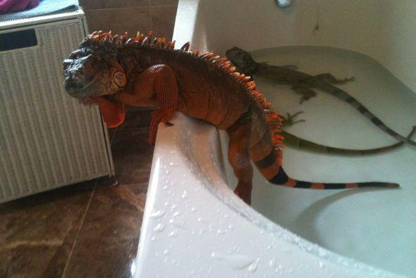 No ha encontrado una chica que comprenda su amor por los reptiles.