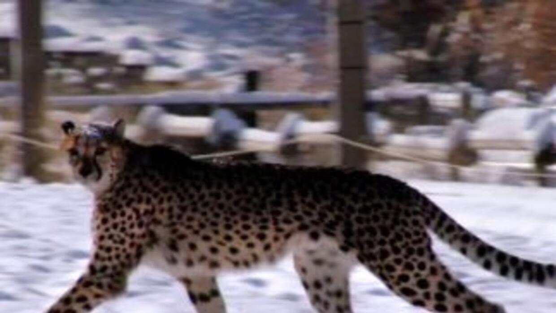 Leopardo causa pánico en India. (Foto de archivo)