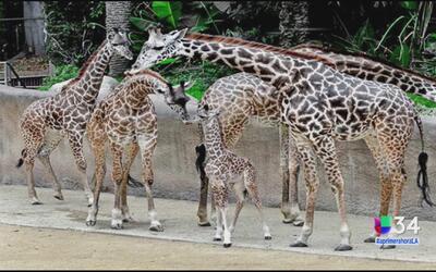 LA Zoo presenta a su nueva jirafita