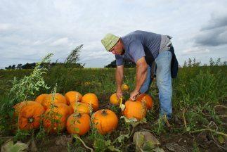 """Las calabazas se venden en espacios temporales llamados """"Pumpkin Patches""""."""