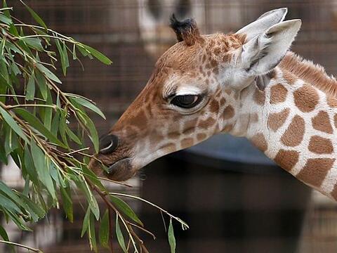 El zoológico de San Francisco acaba de dar la bienvenida a este p...