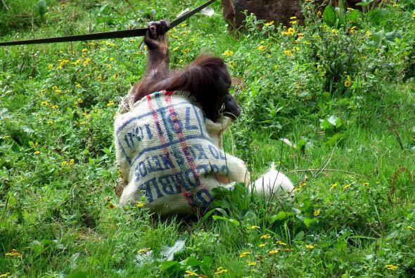 Esta vez Gambira utilizó el saco para vestirse, pero demostr&oacu...