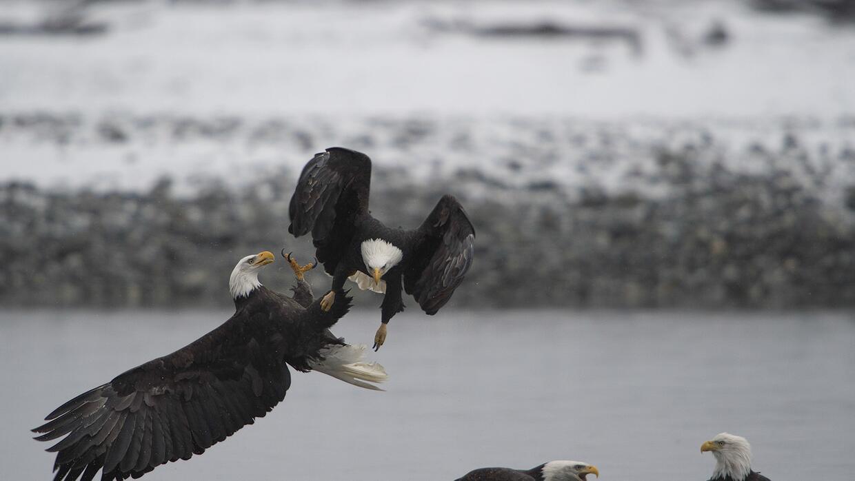 Águilas de cabeza blanca (bald eagles).