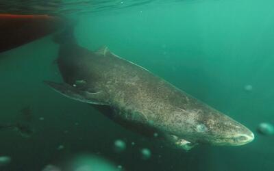 Conoce al tiburón que puede vivir 400 años