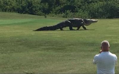Caimán gigante irrumpe en campo de golf