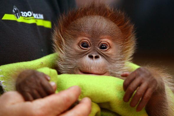 Este lindo orangután es hembra y se llama Rieke.