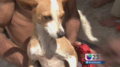Muere arrollada en Miami la perrita balsera