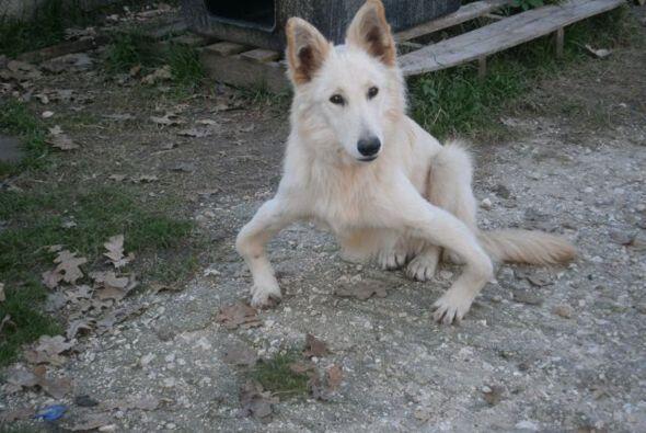 Ella es Sandy, una pastor alemán que fue abandonada en Grecia por sus du...