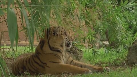 Tigre de una feria en Florida causa incidente que pudo costarle la vida...