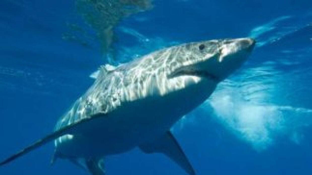 El temido y grande tiburón blanco