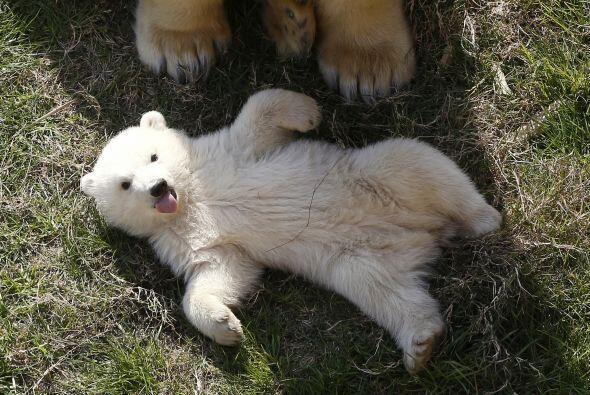 Debido a que su hábitat natural es el ártico, los ojos polares desarroll...