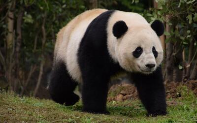 La panda Bao Bao deja la cuarentena y sale para disfrutar de su nuevo ho...