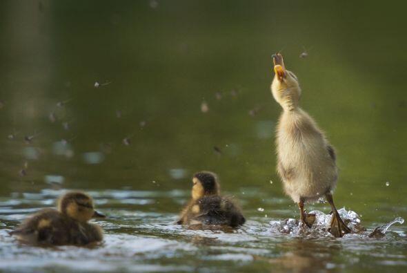 Un valiente se atrevió a hacerlo y mojarse un poquito las plumas.
