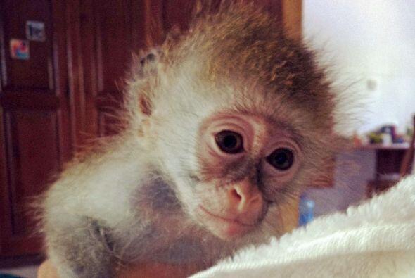 Marley, un mono de vervet, se salvó de los comerciantes de animal...