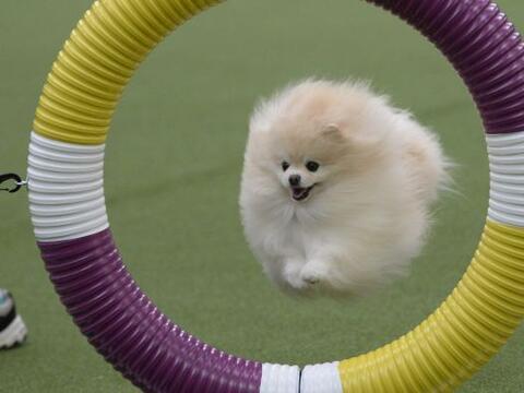 Un Pomeranian en el anillo de agilidad durante el primer Campeonato Agil...