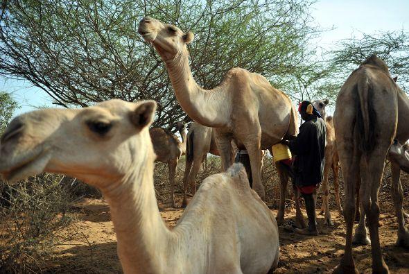 Para que se vea bien su cuerpo, el camello no puede llevar ningún tipo d...