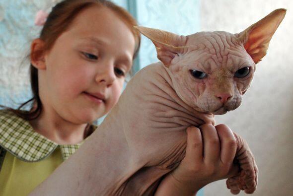 Sphynx o gato esfinge. Si en lugar de un perro buscas un gatito, podría...