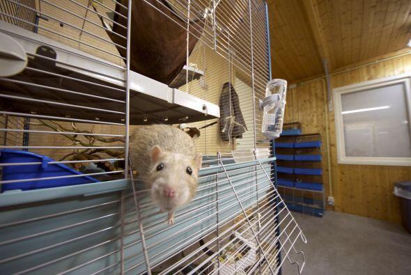 Las ratas están dentro del grupo de los más inteligentes. Un estudio rev...