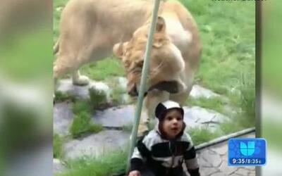 Un león se obsesiona con tocar a un bebé