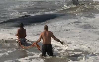 En video: Rescatan a una ballena que quedó atorada en las playas del sur...