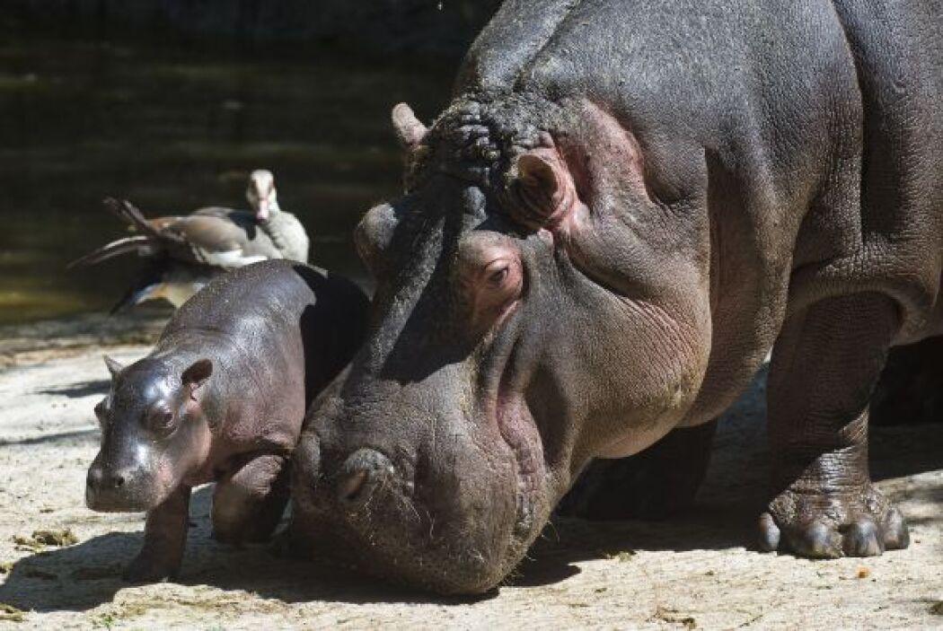 Nació un bebé hipopótamo en el zoológico de la ciudad de México.