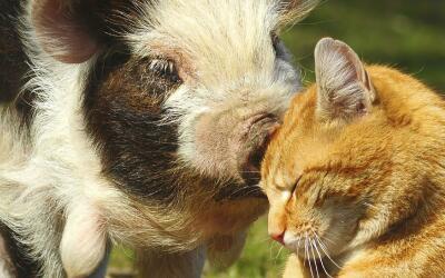 ¡Este gatito prefiere el 'oink, oink'!