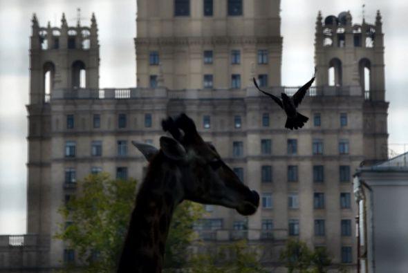 Una jirafa posa delante del rascacielos de Stalin en Moscú.