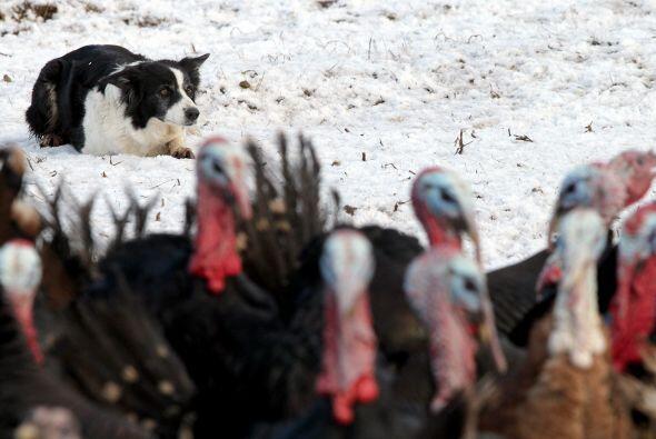 Ella y los 340 pavitos se han hecho muy buenos amigos durante este tiempo.