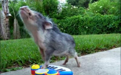 cerdo tocando el piano