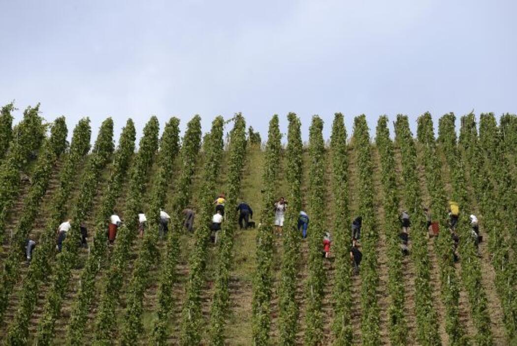La gente trabajando durante la cosecha controlada en Côte-Rôtie es uno d...