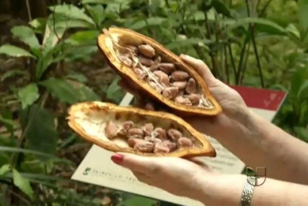 Claro que también hay cacao en otros países latinos y una gran tradición...