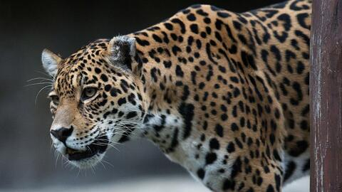 Jaguar, el mayor felino de las Américas