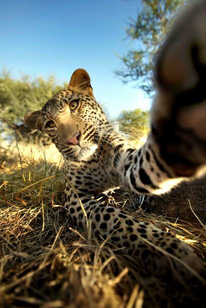 """""""En cuanto caminé hacia los leopardos ellos vieron mi cáma..."""
