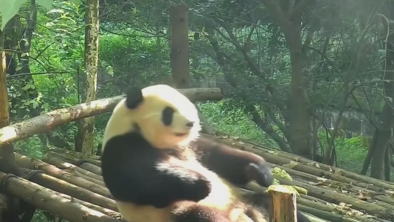 La fiebre del fitness llegó a un zoológico de China
