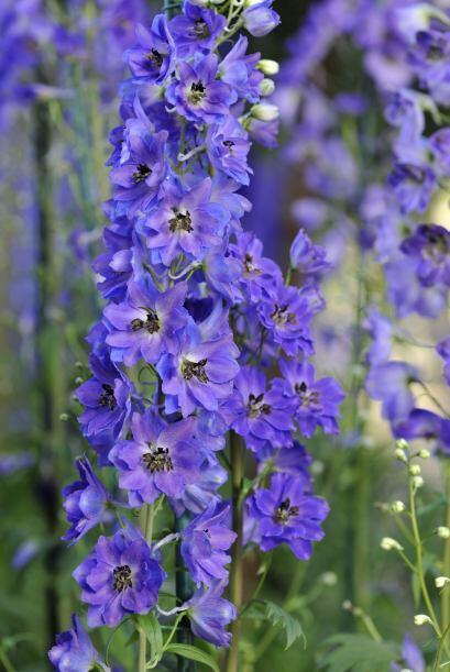 Delphinium. Son plantas vistosas y altas, necesitan ser apostadas de for...