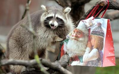 Una mapache llamada Bella abre su regalo de Navidad en el zoológico de H...