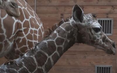 En Video: el nacimiento de una jirafa en una zoológico con mala reputación