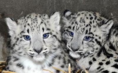Leopardos blancos